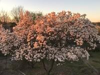 Praktfull Magnolia